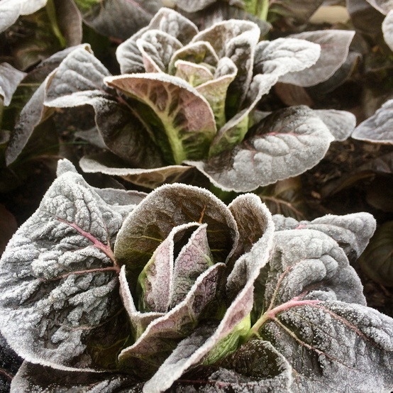 lettuce with frost