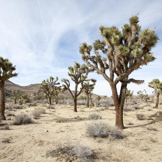 Joshua Trees, California