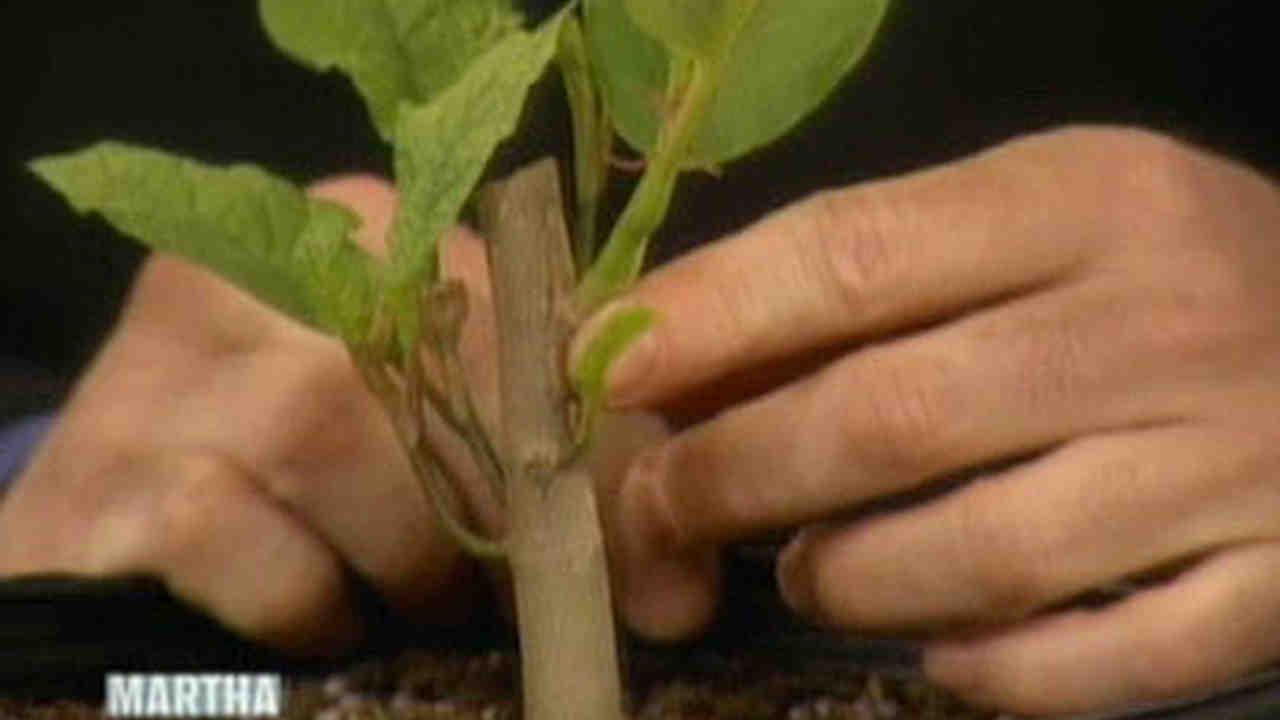 Video Grafting Magnolias Martha Stewart