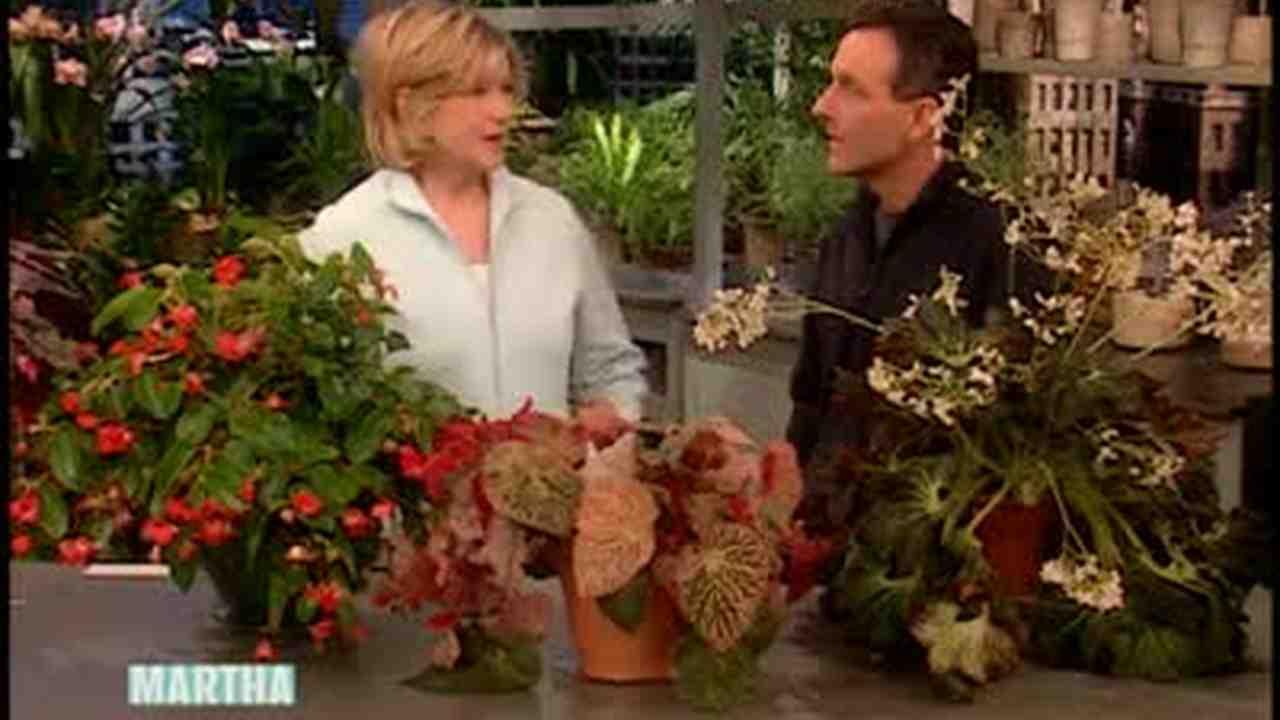 Video How To Grow Begonias Indoors Martha Stewart