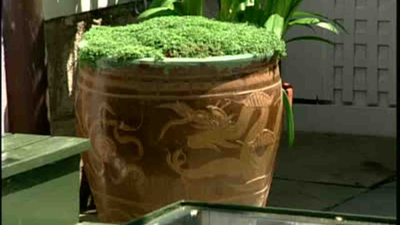 Video: How to Plant Urns with Corsican Mint | Martha Stewart