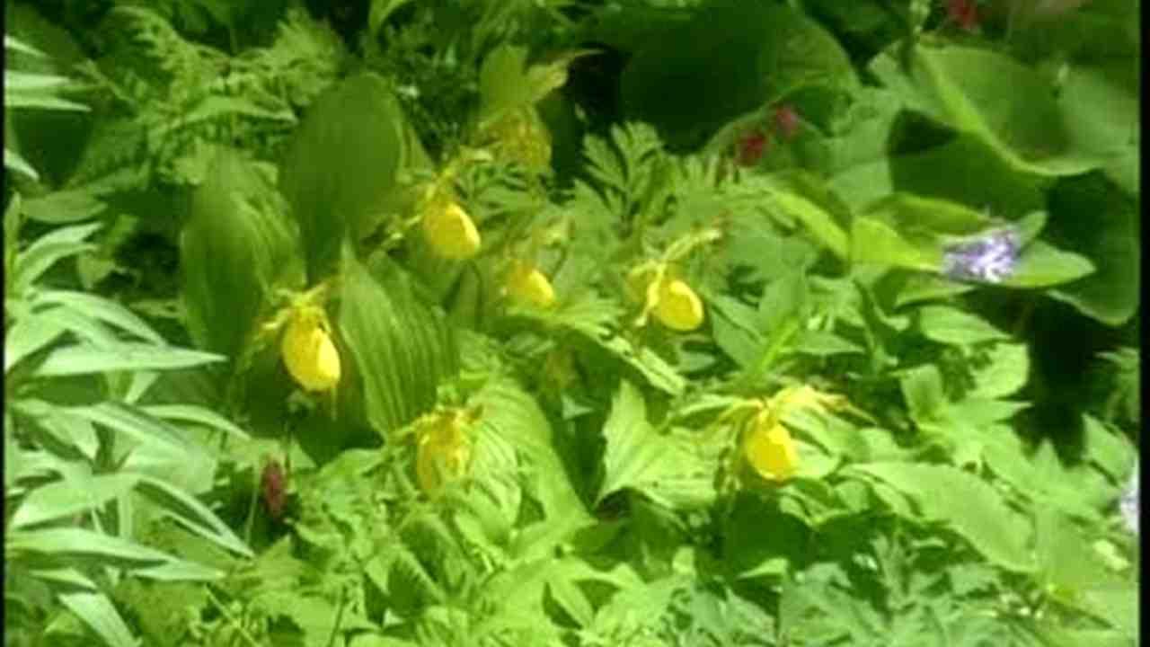 Video Lady Slipper Orchids With Scott Durkee Martha Stewart
