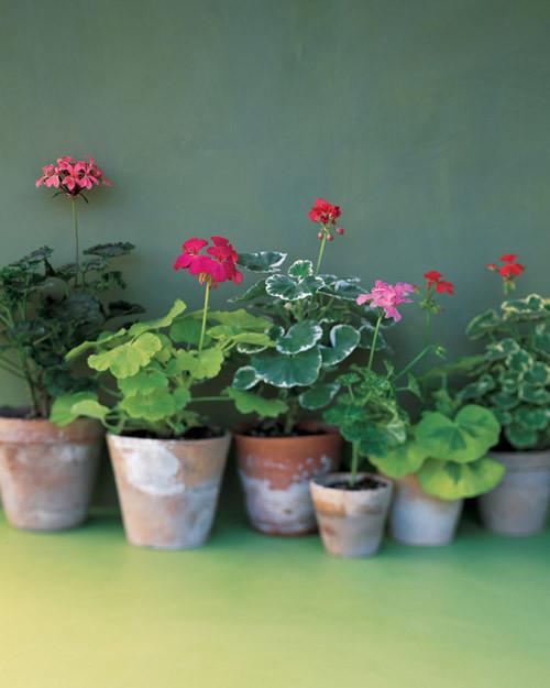 Geraniums Martha Stewart