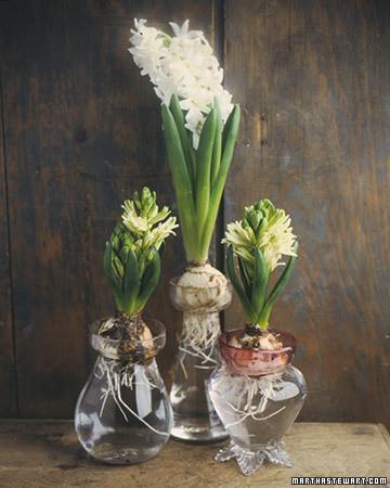 Forcing Hyacinths Martha Stewart