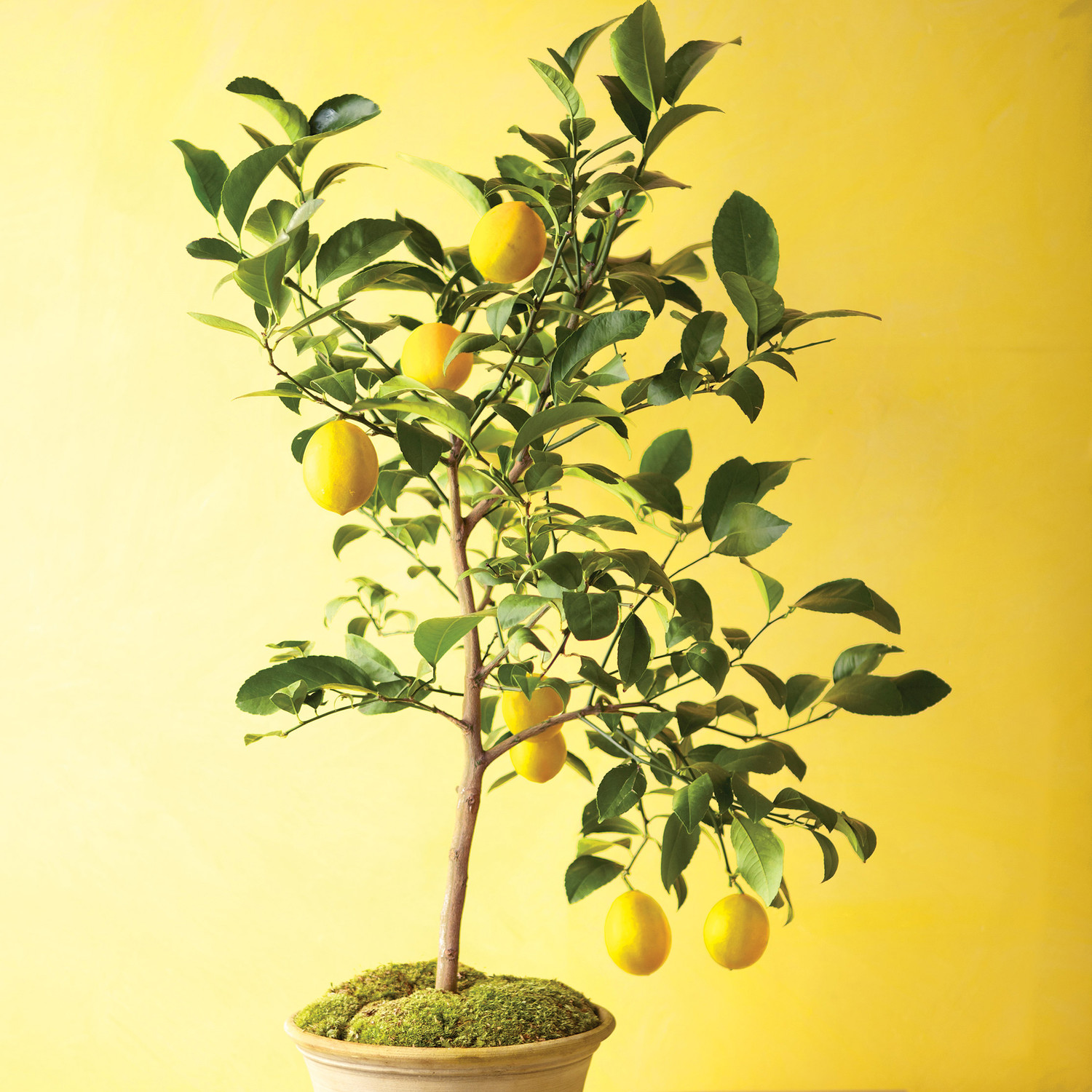 Grow Citrus Indoors | Martha Stewart