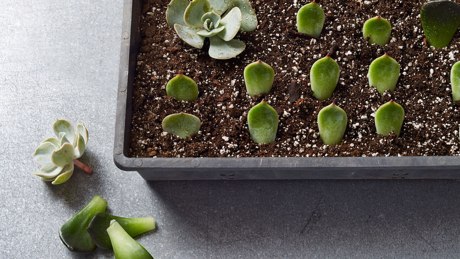 Propagating Succulents: 1 Plant, Hundreds of Babies ...