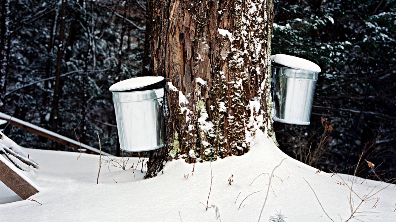 sugar maple tapping