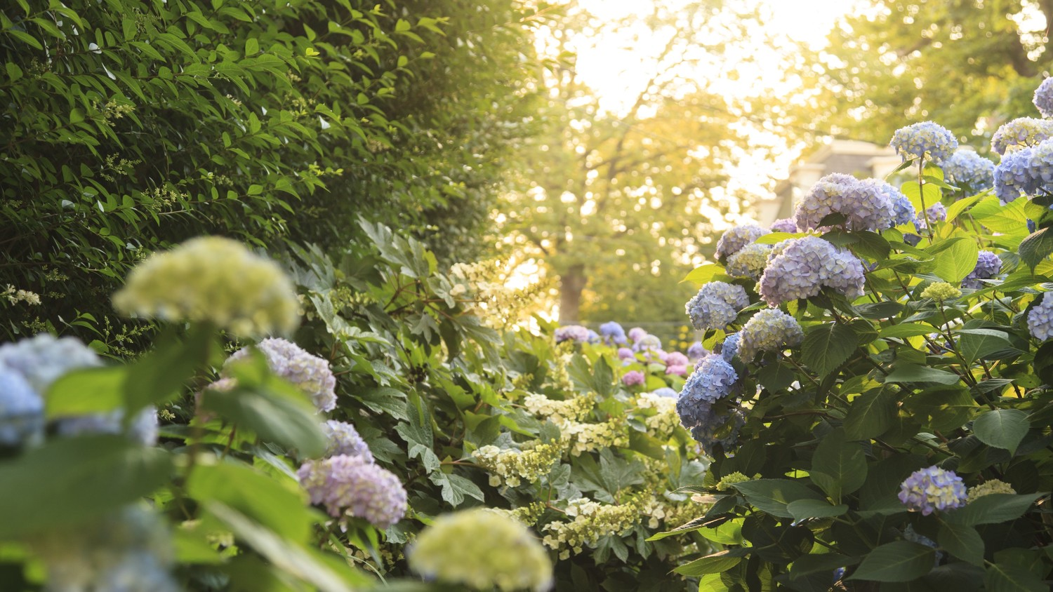 Your Guide to Growing and Caring for Three Popular Types of Hydrangeas