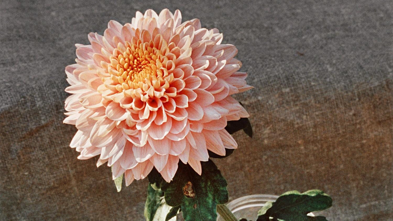 13 Spectacularly Stunning Species Of Chrysanthemum Martha Stewart