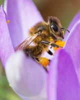 bee on purple flower with pollen