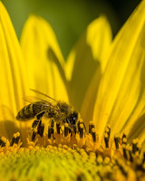 bee on sunflower with pollen