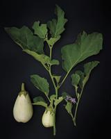 eggplant-004-m010.jpg