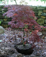 japanese-maples-17.jpg