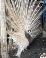 peafowl-peacock-13.jpg