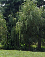 pruning-willows-03.jpg