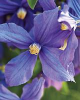 bluepurple-md110341.jpg