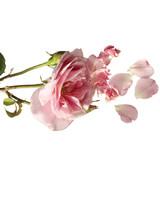 mld103246_0308_roses.jpg