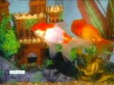 3137_071708_gold_fish.jpg