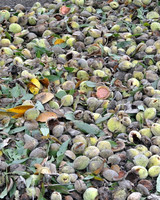 harvesting-almonds-05.jpg