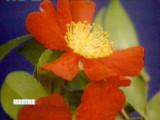 3124_022708_camellia_1.jpg