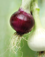 fresh-onions-mld107571.jpg