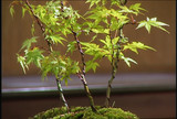 growing_a_bonsai_tree_1.jpg