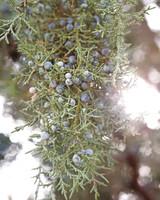 juniper-berries-md108103.jpg