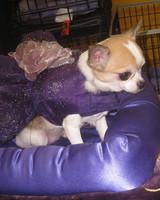 r_0309_chihuahua_costume.jpg