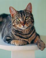 tabby-cat-a97173-msl1197.jpg
