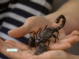 2-150_012607_black_scorpion.jpg