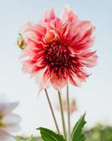 pink dahlia full bloom