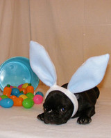 pets_frenchies_ori00080262.jpg