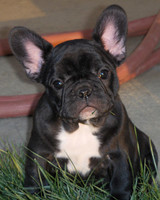 pets_frenchies_ori00080710.jpg