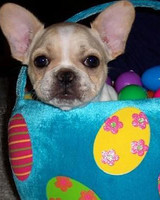 pets_frenchies_ori00081043.jpg