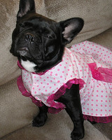 pets_frenchies_ori00081295.jpg