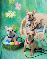pets_frenchies_ori00081958.jpg