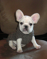 pets_frenchies_ori00082875.jpg