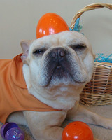 pets_frenchies_ori00083523.jpg