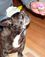 pets_frenchies_ori00084446.jpg