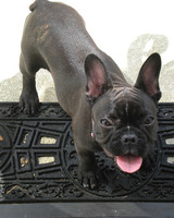 pets_frenchies_ori00084625.jpg