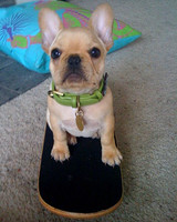 pets_frenchies_ori00087960.jpg