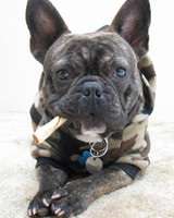 pets_frenchies_ori00088557.jpg