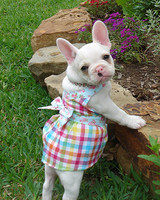 pets_frenchies_ori00090242.jpg