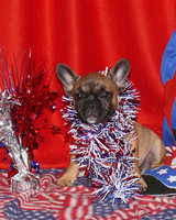 pets_frenchies_ori00092149.jpg