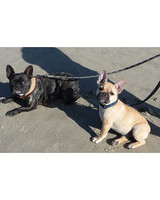pets_frenchies_ori00094862.jpg