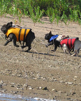 pets_frenchies_ori00096775.jpg