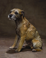 md105724_1110_borderterrier.jpg