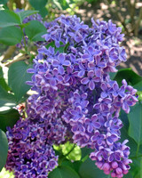 azaleas-liliacs-blog6-051515.jpg