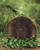 quinault-rain-forest-ms109960.jpg
