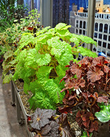 6111_030111_begonia_collection.jpg